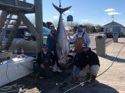 Pirate's Cove Marina, Trophy Bluefin Tuna!